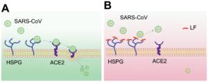 ラクトフェリンとSARSウイルスの拮抗作用
